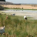 Goats, Kismat tract