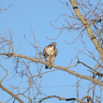 Hawk enjoys a perch at Conservancy corporate yard