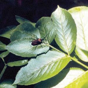Valley Elderberry Longhorn Beetle