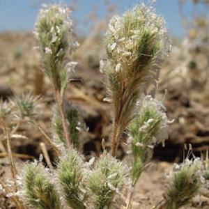 Sacramento Orcutt Grass