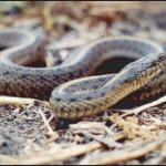 Giant Garter Snake - Thamnophis gigas