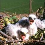 Nesting Swainson's Hawks