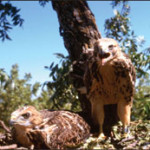 Swainson's Hawk fledglings
