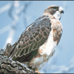 Swainson's Hawk   Buteo swainsoni