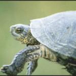 Northwestern Pond Turtle - Clemmys marmorata marmorata