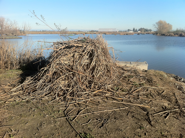 A few days worth of work by some very industrious beavers at the Conservancy's Silva tract near Water Control Structure R