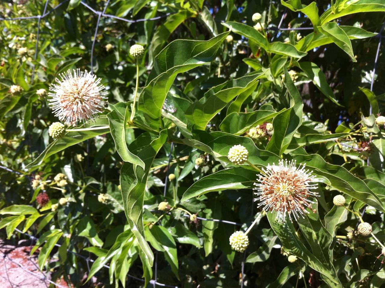 Button-willows