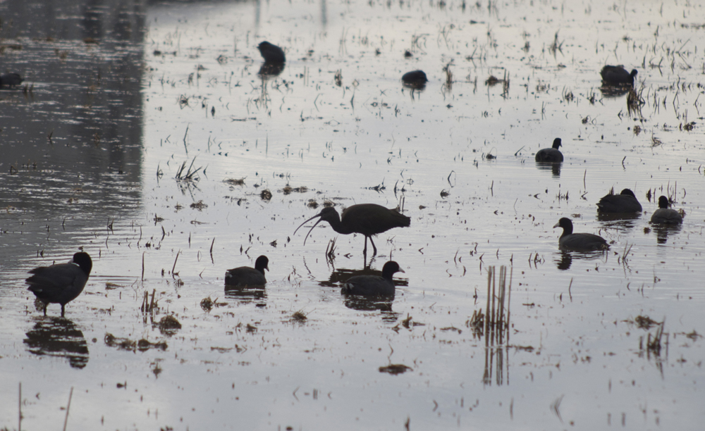 White-faced ibis foraging on the Conservancy's Bennett South tract in a rice field.