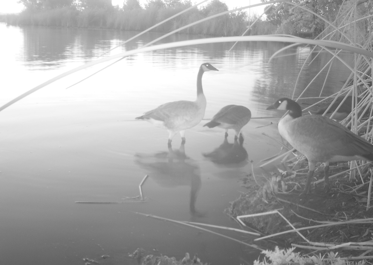 Geese at the Silva tract.