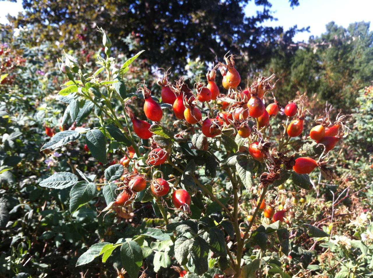 The native California rose.