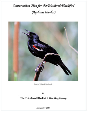 Download the Tri-colored blackbird Conservation Plan (PDF, 1.03 Mb)