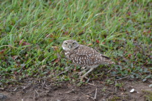 Burrowing owl 12017