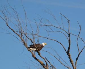 Bald eagle 050217