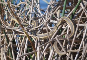 View an enlarged image of a Giant garter snake