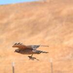 Red shoulder hawk with prey.