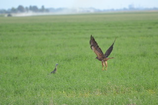 Swainsons hawk swooping down on prey.