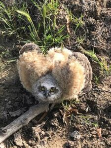 A Great horned owl chick