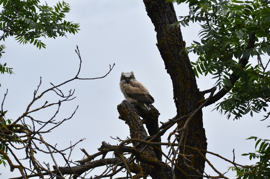 The same Great horned owl a few weeks later