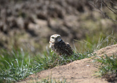 """Burrowing Owl staring you right in the eyes…. Did someone say """"who"""""""