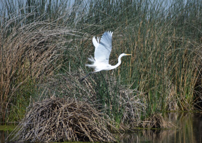 Egret with its large wings flying across the marsh