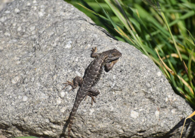 Western Fence Lizard laying on a rock catching some sun rays