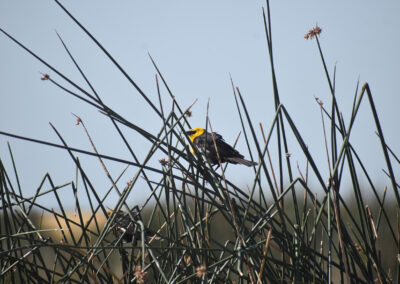 Yellow-Headed Blackbird trying to hide in the tall grass