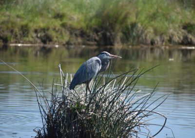 Great Blue Heron standing on a small grass island in the midday sun