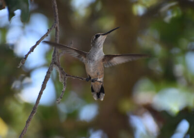 Hummingbird stretching his wings before take-off
