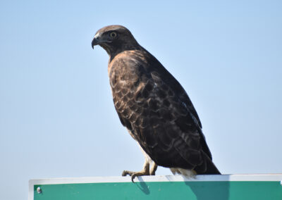 Red Tail Hawk always on the lookout