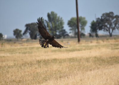 Swainson's Hawk stretching his wings coming in for a landing